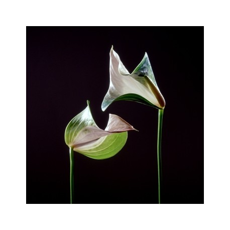 HUYNH Jean-Baptiste. Coup. Fleurs d'arums II. 1999.
